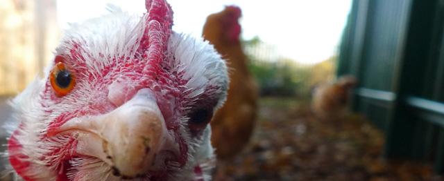 Over de waardigheid van een kip 1