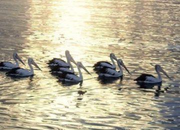Simpelweg meewerken, zo is deze foto van pelikanen ontstaan